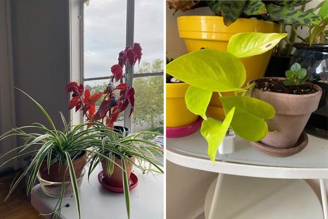 two of abeni's plants