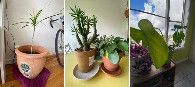 three of abeni's plants