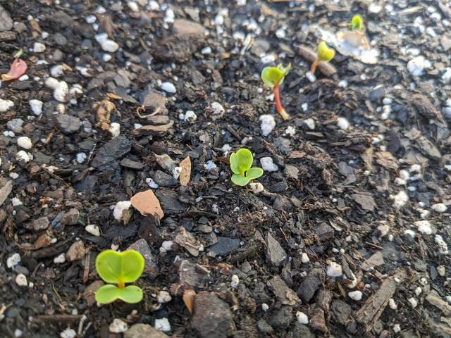nicole's radish sprouts