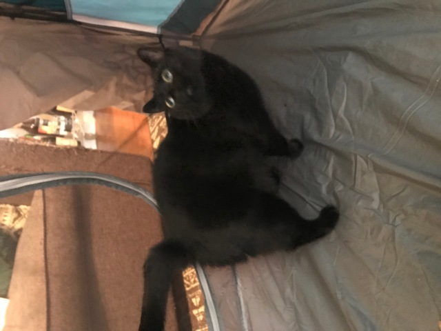 A panicked-looking black cat inside a camping tent, looking up wide-eyed and a bit blurred by motion.