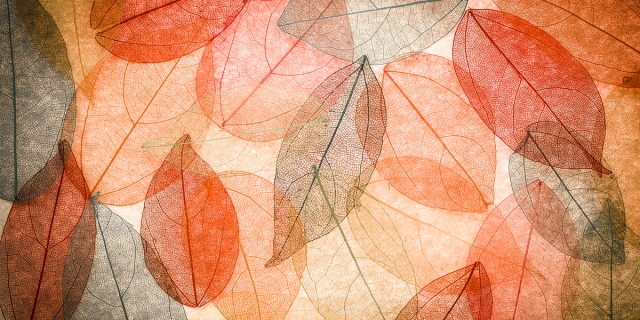 transparent autumn leaves