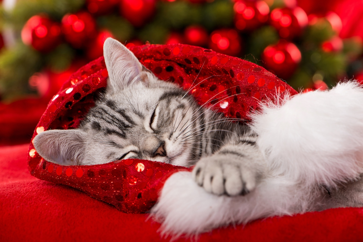 a sweet cat sleeping curled up in a sparkly red santa hat
