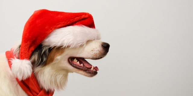 cute dog in a red santa hat covering his eyes