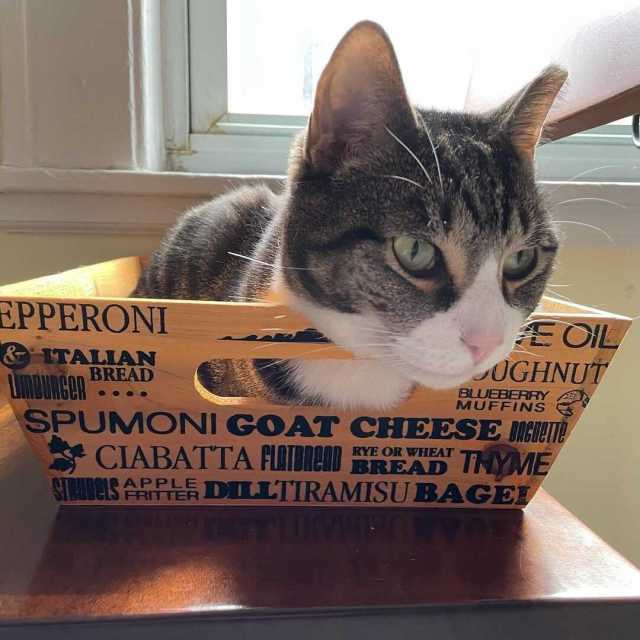 a gray and white tabby cat curled up in a food tray