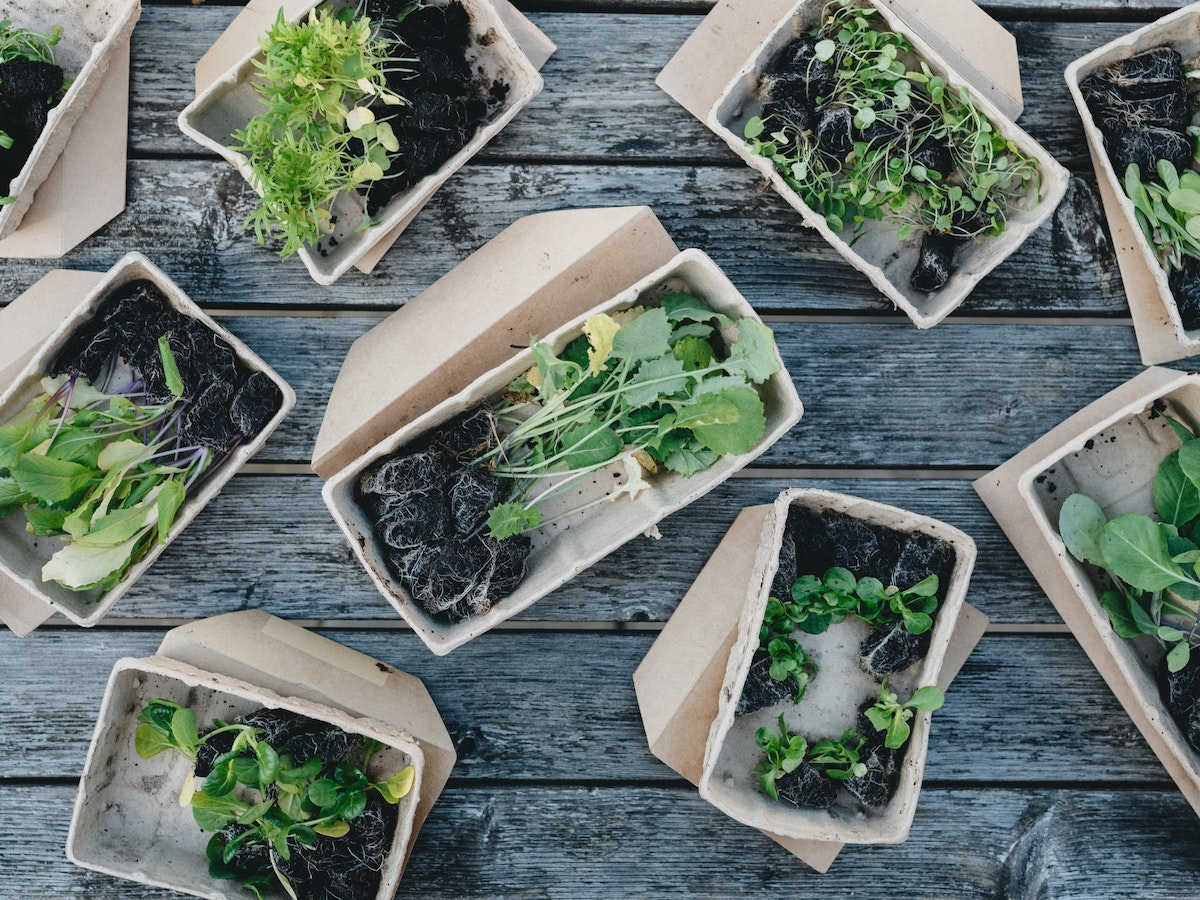An overhead photo of several baskets of arugula. Arugula is a great plant to grow from seed with succession planting throughout spring!