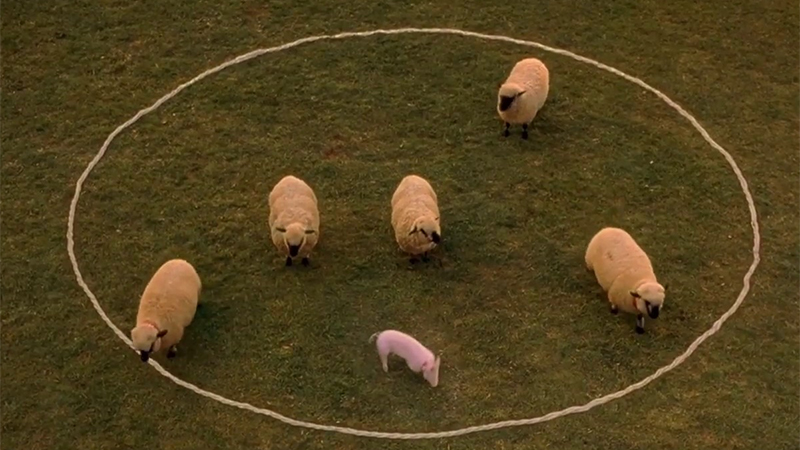 Babe stands in a circle with some sheep