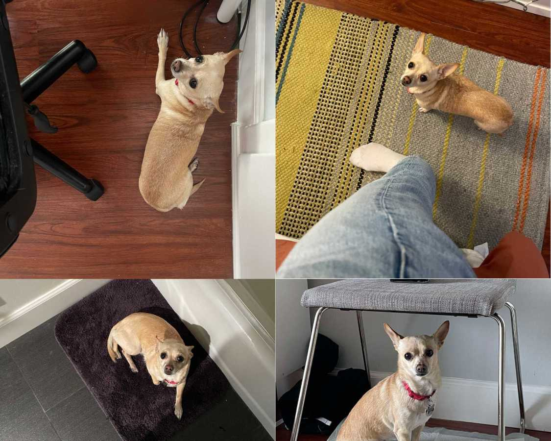 Four pictures of a small chihuahua Carol following her Dad around all day. She's on the bathmat, she's under the chair, she's on the rug, she's under the desk, she's everywhere!