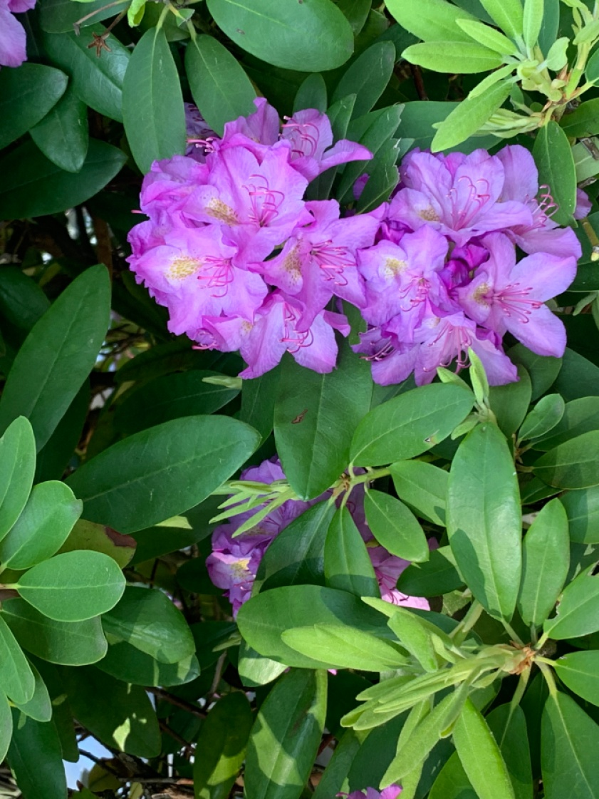 Purple flowers on a plant with long green leaves.