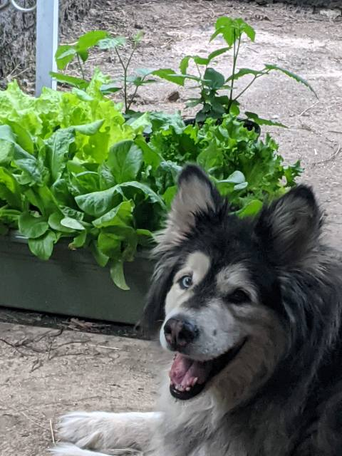 Mya the dog in front of some lettuce