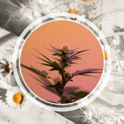 Image shows a photo of a weed plant overlaid on an image of daisies in water glasses.