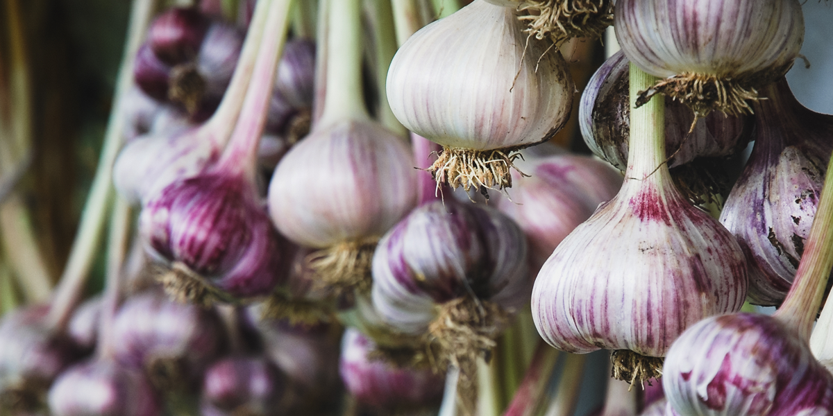 bunches of white and purple garlic, looking very pretty. garlic can be planted in the fall garden and harvested the following summer