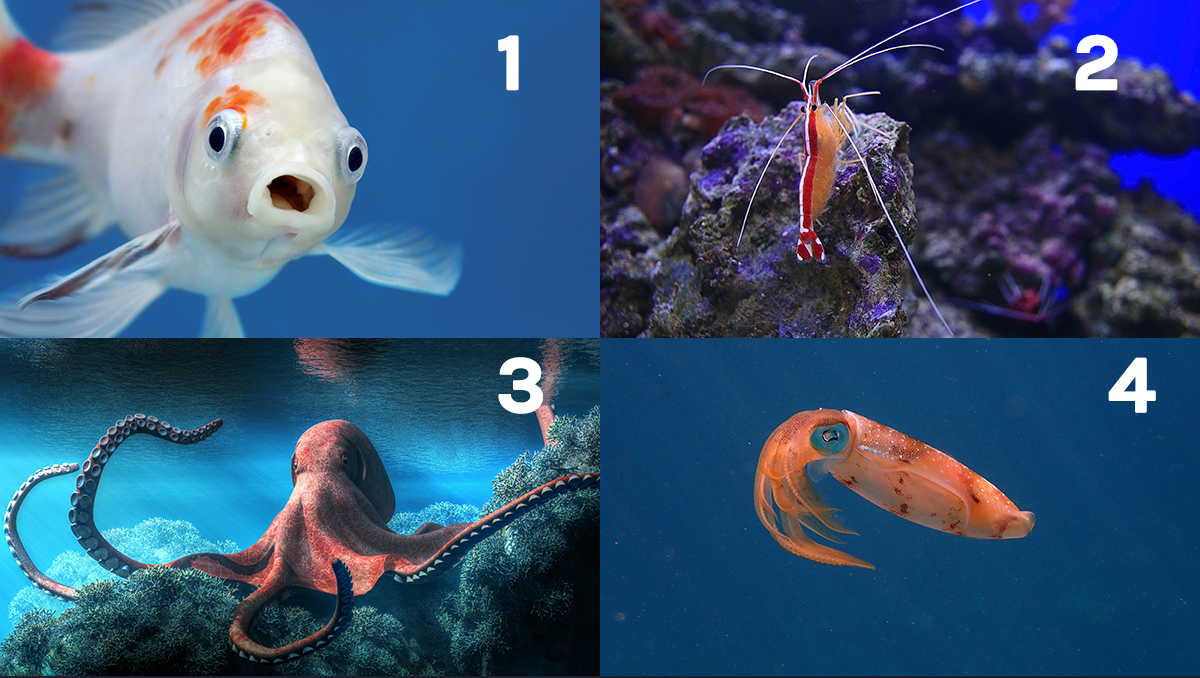 A goldfish, a shrimp, an octopus, and a squid
