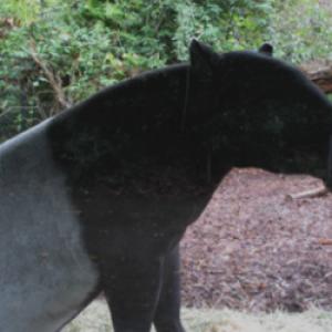Profile picture of tapir
